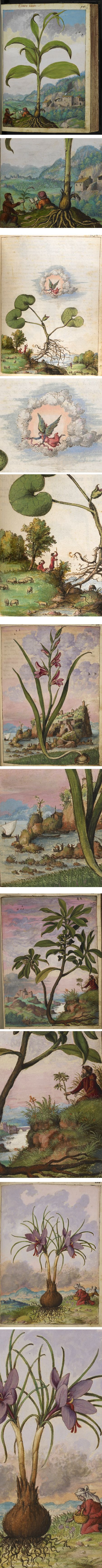 Gherardo Cibos 16th century watercolor illustrations of medicinal herbs