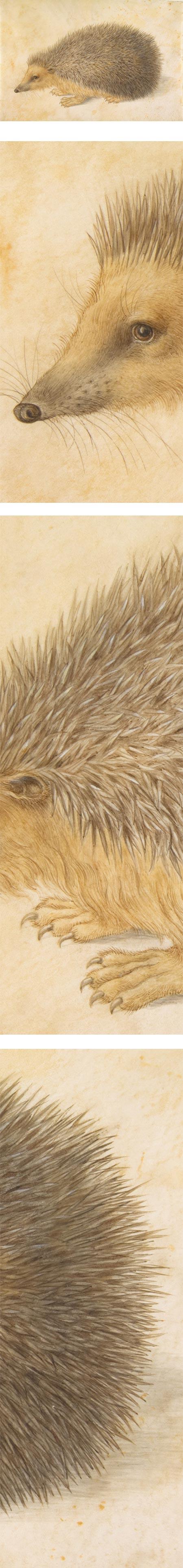 A Hedgehog (Erinaceus roumanicus), Hans Hoffmann,