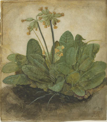 Tuft of Cowslips, Albrecht Durer, gouache on vellum