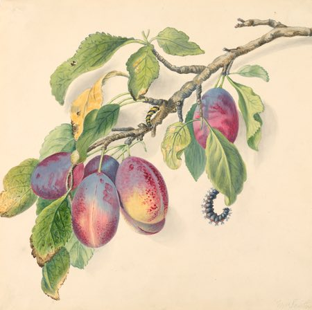ranch with a cluster of ripe plums and caterpillars, botanical illustration watercolor by Mrs. Smith